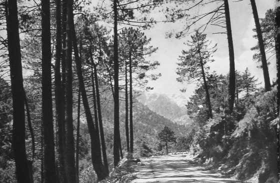 Forêt corse